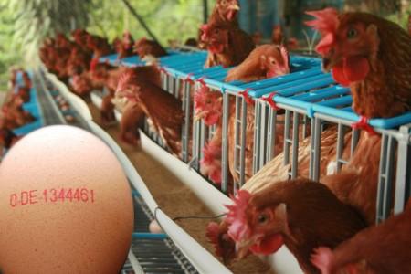 el codi dels ous indica quin condicions de vida de les gallines